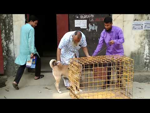 Vaccination of an aggressive Deshi dog Vet in Dhaka City @ Dr. Sagir's Pet Clinic 01912251312