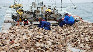 Amazing Fastest Catch Hundreds Tons of Scallops With Modern Big Boat - Amazing big catching on sea