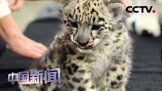 [中国新闻] 英国:人工培育雪豹幼崽首次露面 | CCTV中文国际
