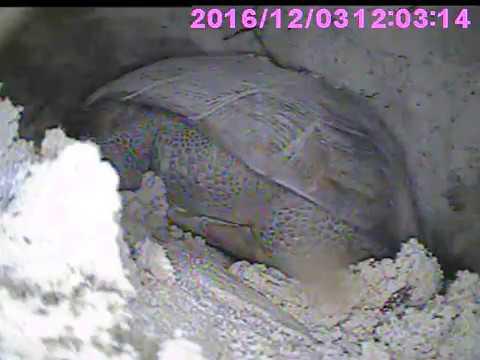 Scoping Gopher Tortoise Burrow