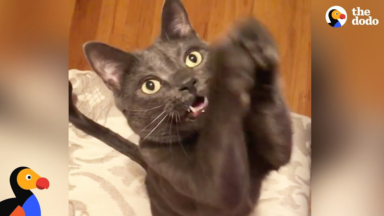Rescue Cat Begs in the Cutest Way - BOUY | The Dodo