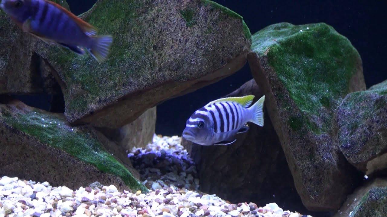 African Malawi Mbuna Cichlids Aquarium