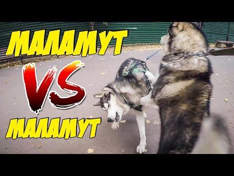Встреча маламута и маламута | корм для собак