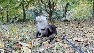 Aty's Adventure to search for autumn leaves ~short movie~ [Otter life Day 150]アティの冒険・紅葉を探し求めて