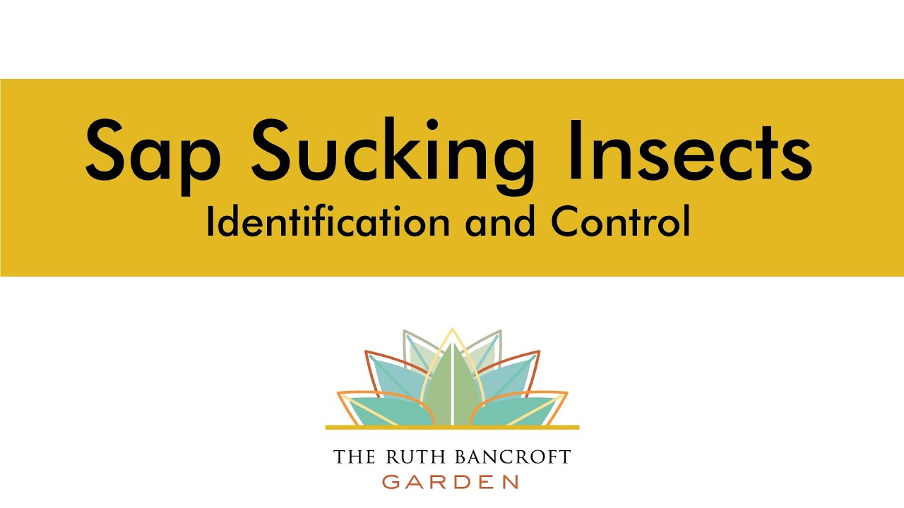 Sap Sucking Insects - Identification and Control