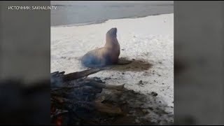 Сахалинцы попытались согреть у костра вышедшего на берег тюленя
