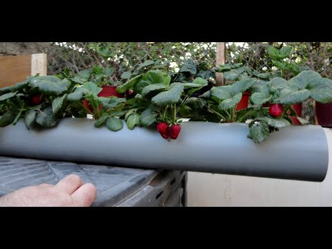 Strawberry Pipe Planter