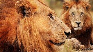 Botswana Lion Brotherhood - 720p NGW