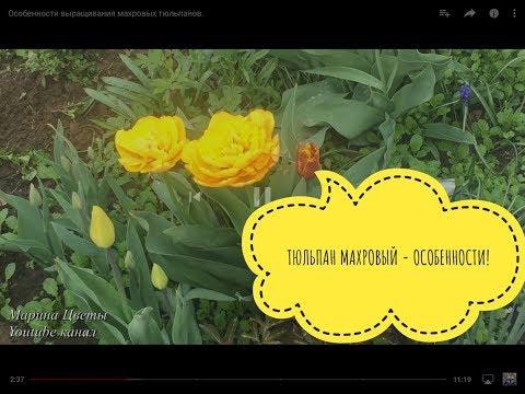 Особенности выращивания махровых тюльпанов.