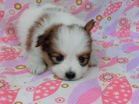 0316パピヨン子犬rion m3