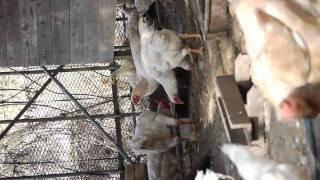 白軍鶏作成中!だいぶ目標に近づいた(*^_^*)大軍鶏シャモしゃも 横向き...