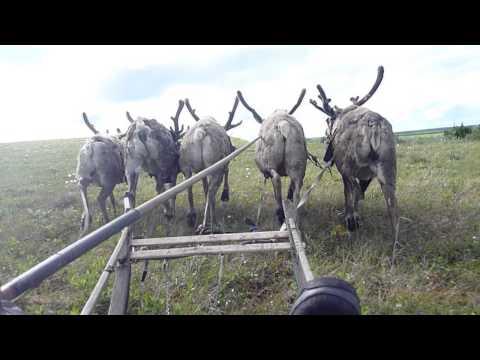 Nenets Reindeer Herders Travelling by Sled in Summer
