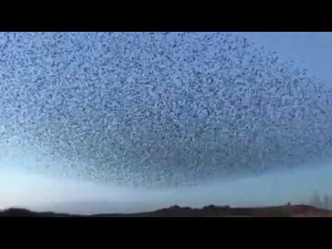 This is a flock of amazing migratory birds called Rosy Starlings