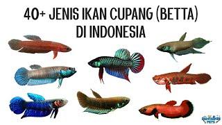 40 Jenis Ikan Cupang Alam (Wild Betta) Di Indonesia