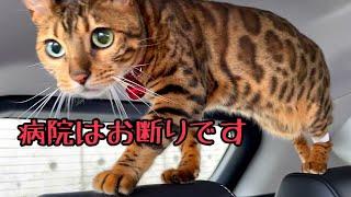 慢性腎不全のベンガル猫ベルの2回目の定期検診に行ってきました