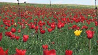 """Цветение диких тюльпанов. Фестиваль """"Воспетая степь"""""""