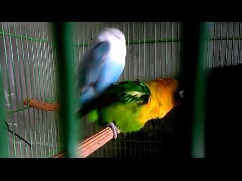 Lovebird birahi kawin