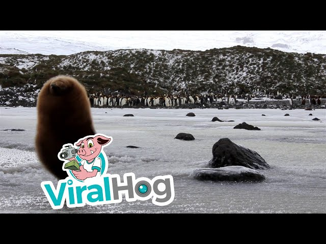 Cute King Penguin Chick Falls Through Ice || ViralHog