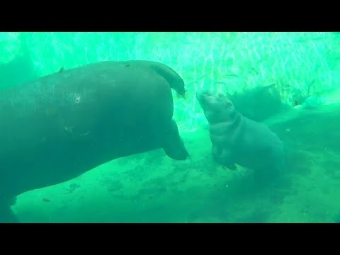 Lucky zoo visitors get up-close look at baby hippo Fiona and her mom