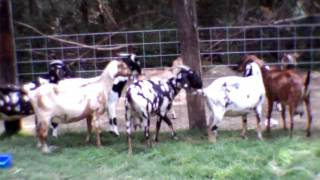 Repeat youtube video Breeding for frogsong farm goats crosssings