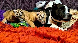 Питбуль и Тигрята Pitbull And Tiger Cubs Ll 8 Series