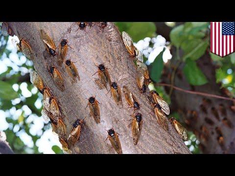 Cicadas 2017: Why are cicadas returning four years early? - TomoNews