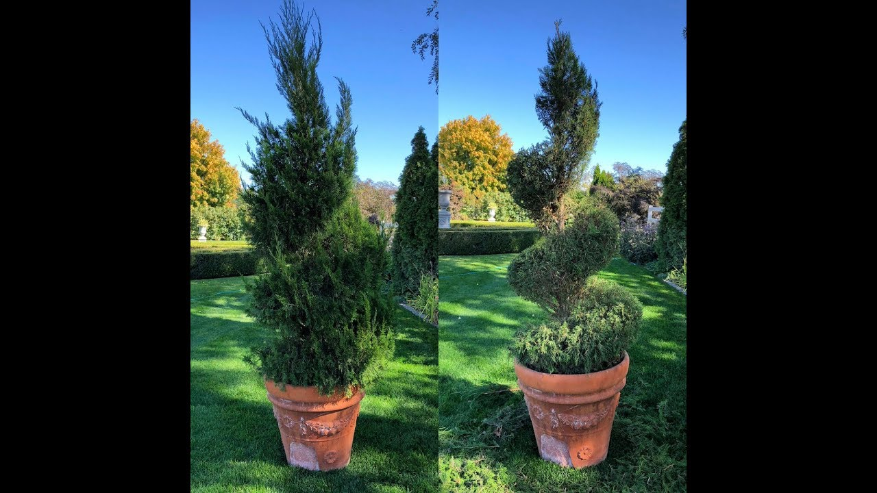 How I Trim Up My Topiaries Youtube