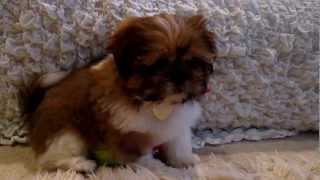 Louis The Shih Tzu 11 Weeks Old, First Day At Home, Kindly Licking My Face!