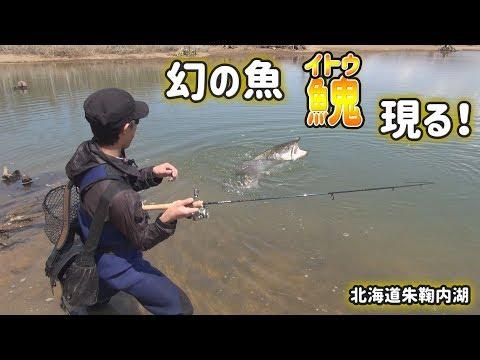 朱鞠内湖で出た!巨大魚イトウ!