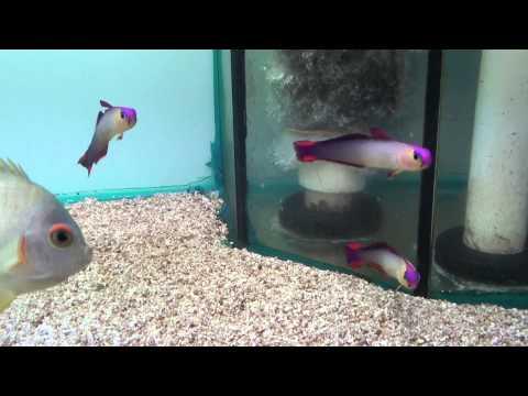 Purple Firefish Or Decora Firegoby (Nemateleotris Decora)