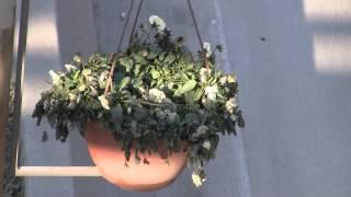 დაკიდული ქოთნები თბილისში