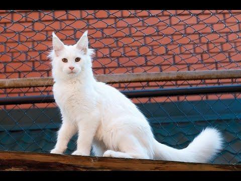 ●Питомник Мейн кунов● Мейн кун видео | Котята мейн кун | Мейн кун купить