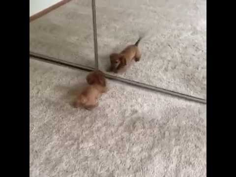 Dachshund Puppy Barks at Himself in Mirror