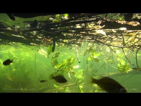 Freshwater Natural Aquarium: Fish Pond [1080p]
