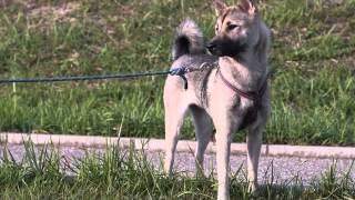 問合せ先 jf2kol@yahoo.ca どちらの犬も穏やかで社会性の高いワンコ達で...