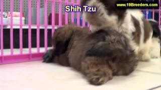Shih Tzu, Puppies, For, Sale, In, Portland, Maine, Me, Brunswick, Waterville, Westbrook, Saco