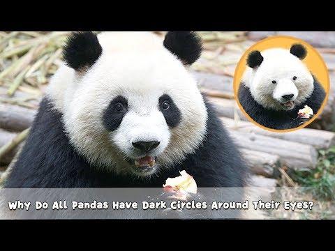 Why Do All Pandas Have Dark Circles Around Their Eyes? | iPanda