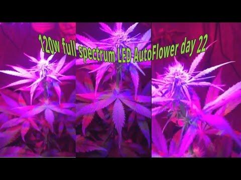 120W full spectrum LED 4 autoflowers Marijuana,DIY Co2 generator Day 22 #7