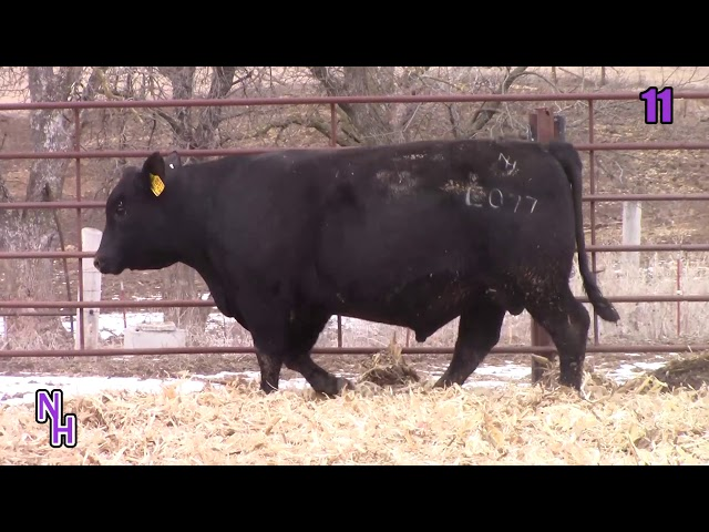 New Haven Angus Lot 11