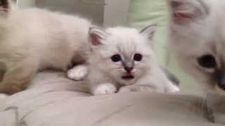 Birman kittens playing with my fingers