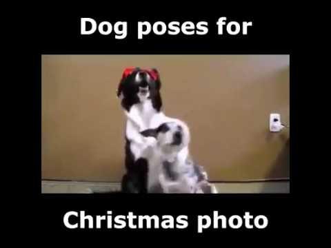 Dog Poses For a Chrismas Photo
