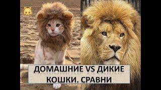 Сравни поведение кошек !!!  Дикие Кошки и Домашние Кошки