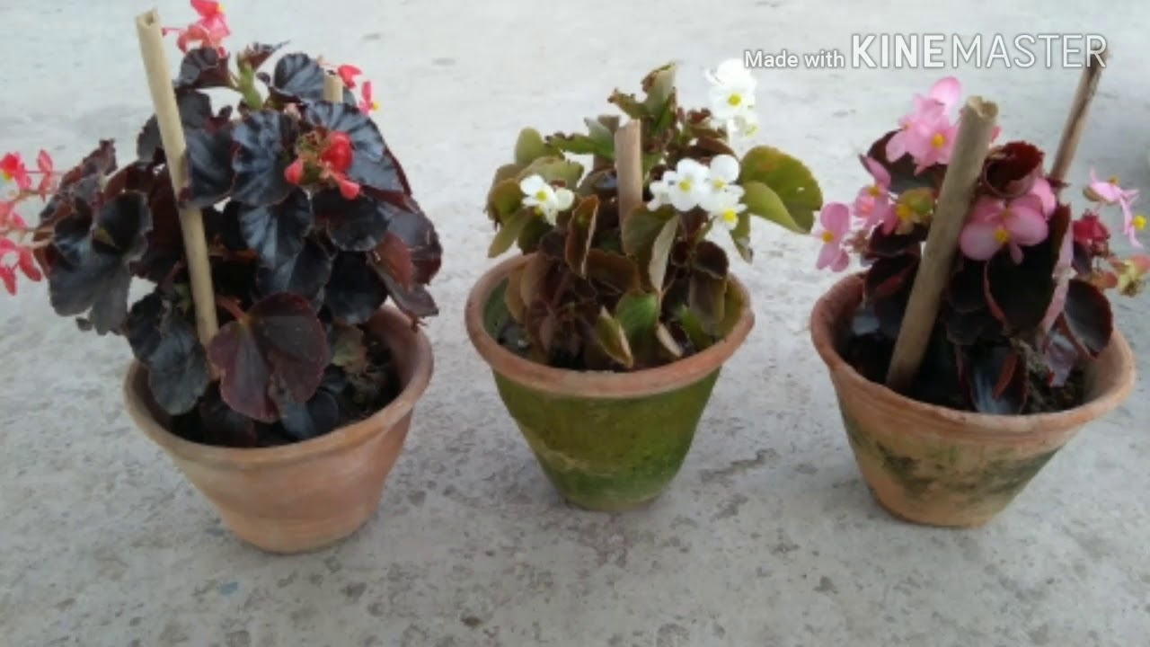Begonia Wax Begonia Care Tips And Repotting 7 Youtube