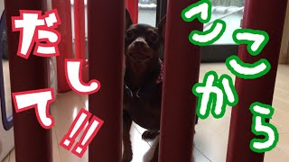 Miniature Pinscher want you to let me out. ミニチュアピンシャーの花...