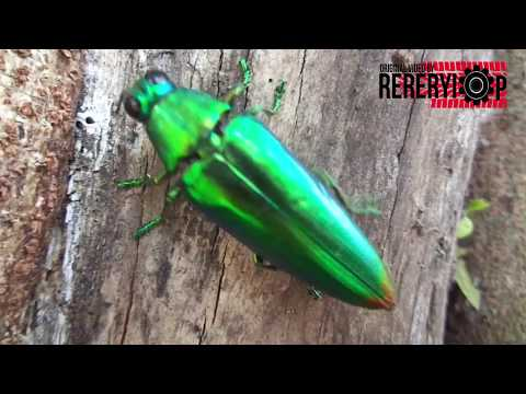 Amazing...!  Jewel Beetle search the hole for laying an egg