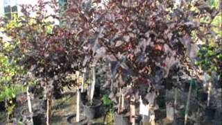 Planting a Laurel.... Watch this Video First