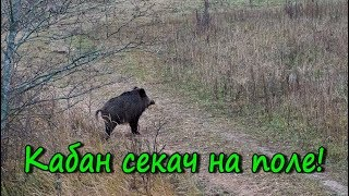 Кабан Секач на поле