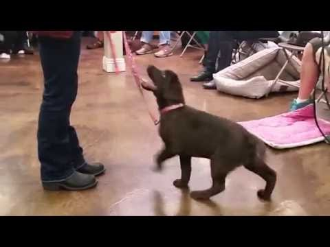 Chocolate Lab 15 Weeks Old - Cassie's 3rd Week at Puppy School - Impulse Control