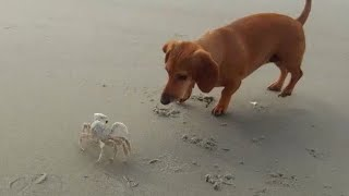 Dachshund vs Crab