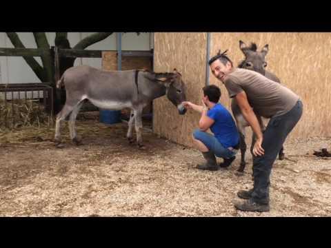 Pareggio di asino che calcia / Trimming a kicking donkey  - Daniele Corsi